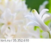 Цветы. Белые гиацинты. Фрагмент цветка крупным планом. Стоковое фото, фотограф E. O. / Фотобанк Лори