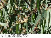 Flowering of Eucalyptus globular (Latin - Eucalyptus globulus Labill) Стоковое фото, фотограф Irina Opachevsky / Фотобанк Лори