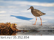 Spotted redshank (Tringa erythropus) walking on ice. Pasvik, Norway. May. Стоковое фото, фотограф Erlend Haarberg / Nature Picture Library / Фотобанк Лори