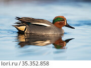 Eurasian teal (Anas crecca) male, reflected in water. Pasvik, Norway. May. Стоковое фото, фотограф Erlend Haarberg / Nature Picture Library / Фотобанк Лори