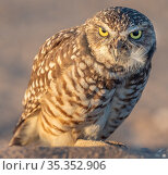 Burrowing owl (Athene cunicularia) portrait in evening light. Marana, Arizona, USA. Стоковое фото, фотограф Jack Dykinga / Nature Picture Library / Фотобанк Лори