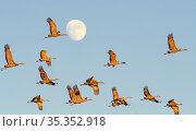 Sandhill crane (Grus canadensis) flock during migration, full moon in background. Whitewater Draw Wildlife Area, Arizona, USA. October. Стоковое фото, фотограф Jack Dykinga / Nature Picture Library / Фотобанк Лори