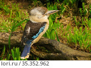 Blue-winged kookaburra (Dacelo leachii) perched on branch. Occurs in Northern Australia . Captive. Стоковое фото, фотограф Enrique Lopez-Tapia / Nature Picture Library / Фотобанк Лори