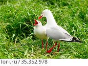 Silver gull (Chroicocephalus novaehollandiae) pair in courtship. Phillip Island, Victoria, Australia. September. Стоковое фото, фотограф Enrique Lopez-Tapia / Nature Picture Library / Фотобанк Лори