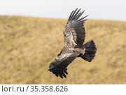 Andean condor (Vultur gryphus) juvenile released with identification tag. Antisanilla reserve, Ecuador. Стоковое фото, фотограф Maxime Aliaga / Nature Picture Library / Фотобанк Лори