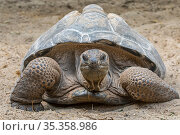 Aldabra giant tortoise (Aldabrachelys gigantea / Testudo gigantea) occurs in the islands of the Aldabra Atoll in the Seychelles. Captive. Стоковое фото, фотограф Philippe Clement / Nature Picture Library / Фотобанк Лори