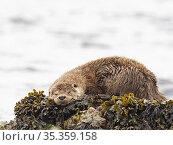 Otter, (Lutra lutra), sleeping on shoreline, Shetland, Scotland, UK, June. Стоковое фото, фотограф David Tipling / Nature Picture Library / Фотобанк Лори