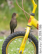 Blackbird, (Turdus merula) female perched on bicycle wheel, collecting food for chicks in garden Norfolk, England, UK, May. Стоковое фото, фотограф David Tipling / Nature Picture Library / Фотобанк Лори