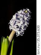 Large inflorescence of light lilac hyacinth on a black background. Стоковое фото, фотограф irisff / Фотобанк Лори