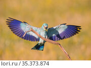 Roller (Coracias garrulus) with grasshopper prey, landing on perch, wings spread, Hungary. Стоковое фото, фотограф Hermann Brehm / Nature Picture Library / Фотобанк Лори