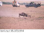 Cheetah (Acinonyx jubatus), killing a young wildbeast with safari vehicles near, Masai Mara, Kenya. Стоковое фото, фотограф Hermann Brehm / Nature Picture Library / Фотобанк Лори