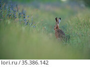 European hare (Lepus europaeus) sitting in grassland. Yonne, France. June. Стоковое фото, фотограф Cyril Ruoso / Nature Picture Library / Фотобанк Лори