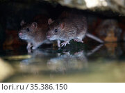 Brown rat (Rattus norvegicus), two on rocks at edge of Yonne River, reflected in water. Sens, France. September. Стоковое фото, фотограф Cyril Ruoso / Nature Picture Library / Фотобанк Лори