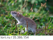 Brown rat (Rattus norvegicus). Sens, France. September. Стоковое фото, фотограф Cyril Ruoso / Nature Picture Library / Фотобанк Лори