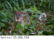 Brown rat (Rattus norvegicus) feeding on leaf. Sens, France. September. Стоковое фото, фотограф Cyril Ruoso / Nature Picture Library / Фотобанк Лори