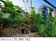 Brown rat (Rattus norvegicus) looking out of hole on bank of River Yonne, buildings in background. Sens, Bourgogne-Franche-Comte, France. September 2019. Стоковое фото, фотограф Cyril Ruoso / Nature Picture Library / Фотобанк Лори