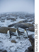 King penguin (Aptenodytes patagonicus), three walking through Elephant seal colony (Mirounga leonina) in snow. St Andrews Bay, South Georgia. October. Стоковое фото, фотограф Mark MacEwen / Nature Picture Library / Фотобанк Лори