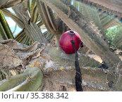 Coubo - the fruit of the Peruvian cereus. Стоковое фото, фотограф Irina Opachevsky / Фотобанк Лори