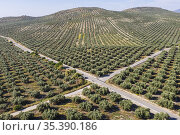 Cultivated olive trees (Olea europaea) and crossroads. Aerial view... Стоковое фото, фотограф Thomas Dressler / age Fotostock / Фотобанк Лори