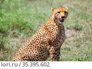 Cheetah. Стоковое фото, фотограф Art Konovalov / Фотобанк Лори