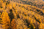 Larch taiga in autumn on a sunny day. Top view. Стоковое фото, фотограф Наталья Волкова / Фотобанк Лори