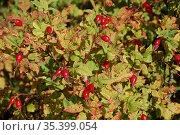 Красные ягоды шиповника на кусте осенью. Стоковое фото, фотограф Бабкина Марина / Фотобанк Лори