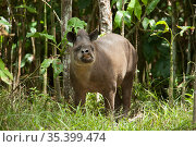 Brazilian tapir (Tapirus terrestris) feeding in forest. In Zoo de Guyane, French Guiana. Captive. Стоковое фото, фотограф Pascal Kobeh / Nature Picture Library / Фотобанк Лори