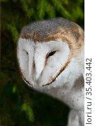 A wild barn owl. Стоковое фото, фотограф Алексей Кузнецов / Фотобанк Лори