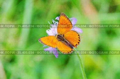 Самец бабочки червонца огненного, или многоглазки огненной (лат. Lycaena virgaureae) на цветке короставника