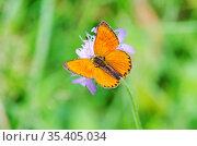Самец бабочки червонца огненного, или многоглазки огненной (лат. Lycaena virgaureae) на цветке короставника. Стоковое фото, фотограф Елена Коромыслова / Фотобанк Лори