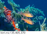 Moluccan cardinalfish (Ostorhinchus moluccensis) next to hydroids, brittlestars and sea squirts.  Tulamben, Bali, Indonesia. Стоковое фото, фотограф Georgette Douwma / Nature Picture Library / Фотобанк Лори