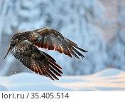 Golden eagle (Aquila chrysaetus) in flight, low over snow, Kuusamo, Finland, January. Стоковое фото, фотограф Markus Varesvuo / Nature Picture Library / Фотобанк Лори