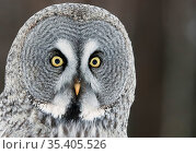 Great grey owl (Strix nebulosa) portrait, Kuhmo, Finland, March. Стоковое фото, фотограф Markus Varesvuo / Nature Picture Library / Фотобанк Лори