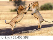 Lion (Panthera leo) males mock fighting / play fighting. Ngorongoro Crater, Ngorongoro Conservation Area (NCA), Tanzania. Стоковое фото, фотограф Nick Garbutt / Nature Picture Library / Фотобанк Лори