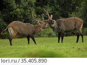 Defassa waterbuck ( Kobus ellipsiprymnus defassa) males, Mt. Elgon National Park Kenya. Стоковое фото, фотограф John Cancalosi / Nature Picture Library / Фотобанк Лори