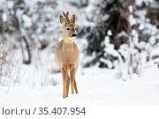 A young roe deer, capreolus capreolus, with growing antlers standing... Стоковое фото, фотограф Zoonar.com/Jakub Mrocek / easy Fotostock / Фотобанк Лори
