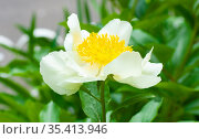 Белый пион с японской формой цветка. Стоковое фото, фотограф Наталия Шевченко / Фотобанк Лори