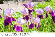 Фиолетовые ирисы бородатые (Iris barbatus) на клумбе. Стоковое фото, фотограф Наталия Шевченко / Фотобанк Лори