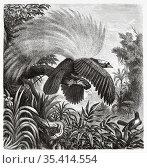 Old Nineteenth century illustration. The large emerald bird of paradise... Редакционное фото, фотограф Jerónimo Alba / age Fotostock / Фотобанк Лори