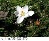 Цветок белого крокуса на фоне хвои. Стоковое фото, фотограф Бабкина Марина / Фотобанк Лори