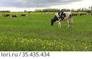 Коровы пасутся на рапсовом поле. Стадо на лугу весенним днём. Стоковое видео, видеограф Мiлана Х / Фотобанк Лори