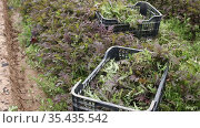 Plastic boxes of freshly picked misuna red leaves on plantation in springtime. Harvest time. Стоковое видео, видеограф Яков Филимонов / Фотобанк Лори