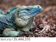Cayman Island Blue Iguana (Cyclura lewisi) portrait, in captive breeding program at Queen Elizabeth II Botanic Park, Grand Cayman Island, Cayman Islands. Стоковое фото, фотограф Will Burrard-Lucas / Nature Picture Library / Фотобанк Лори