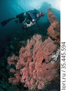 Man with camera above Sea Fan (Melithaea sp), Gorgonian Passage dive... Стоковое фото, фотограф Colin Marshall / age Fotostock / Фотобанк Лори