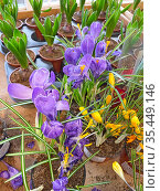 Крокусы в горшках в цветочном магазине. Редакционное фото, фотограф Мария Кылосова / Фотобанк Лори