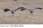 Common crane (Grus grus) pair in courtship dance. Joutsa, Finland. April. Стоковое фото, фотограф Jussi Murtosaari / Nature Picture Library / Фотобанк Лори