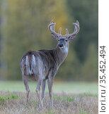 White-tailed deer (Odocoileus virginianus) buck. Kirkkonummi, Finland... Стоковое фото, фотограф Jussi Murtosaari / Nature Picture Library / Фотобанк Лори