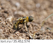 Downland villa bee fly (Villa cingulata) rubbing the tip of her abdomen in loose soil by a rabbit burrow to fill her sand chamber, where eggs are coated... Стоковое фото, фотограф Nick Upton / Nature Picture Library / Фотобанк Лори