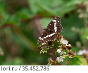 White admiral butterfly (Limenitis camilla) showing upperside, feeding on Bramble (Rubus fruiticosus) Church Place Inclosure, New Forest National Park, Hampshire, England, UK, July. Стоковое фото, фотограф Mike Read / Nature Picture Library / Фотобанк Лори