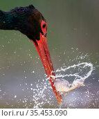 Black stork (Ciconia nigra) feeding, fish prey in beak. Hungary. May. Стоковое фото, фотограф Markus Varesvuo / Nature Picture Library / Фотобанк Лори